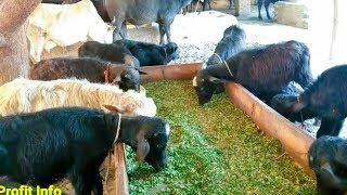 Katta Farming in Pakistan|How to start katta Farming|Kattay Farm in sindh|Bachra Farming|Profit Info