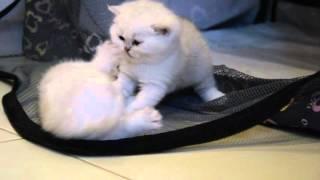 Котята шотландской серебристой шиншиллы