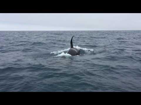 Orcas show up off Long Beach June 2017