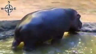 Ponure spojrzenie hipopotama w zoo we Wrocławiu, młode, odważne ptaki - Afrykarium