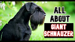 All about the GIANT Schnauzers