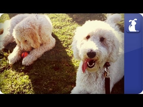 Doglopedia - Goldendoodle