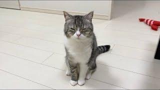 どうしても膝の上で寝たくて、眠そうに甘えてくる猫がこちらです笑