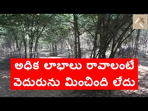 Bamboo plantation very profitable crop always వెదురు తోట వేస