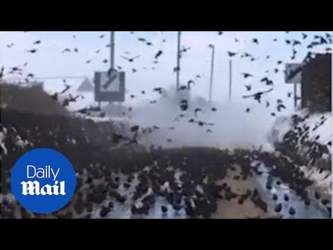 Amazing footage shows huge flock of starlings blocking road - Daily Mail
