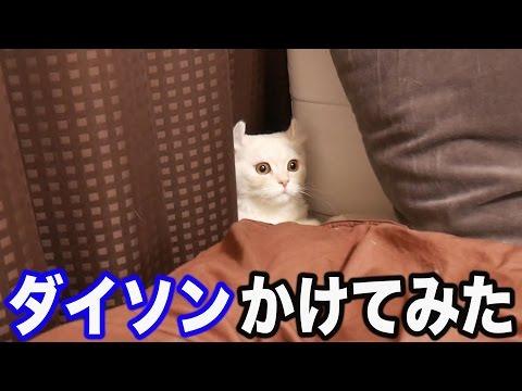 【爆音】ダイソンをかけた時の猫の反応