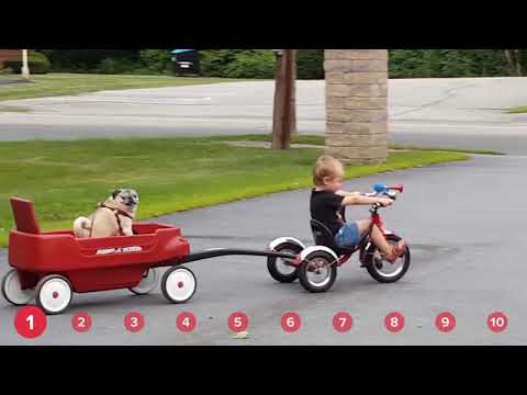Pugs Riding Wagons Playful Puppies Funny Animal Compilation