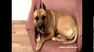 Самая злая собака на свете!!! Порвёт за кресло!!!  [Рыбачёв и Пёс]