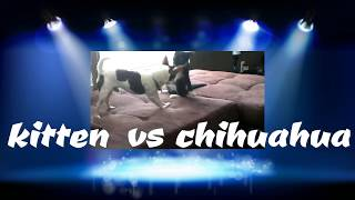 BOXING KITTEN VS CHIHUAHUA (FUNNY ANIMALS)
