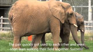Buta And Janu The Elephants Introduced At Noah's Ark Zoo Farm
