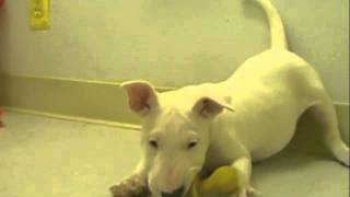 All White Bull Terrier Puppy American Puppy Club