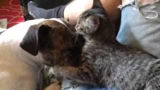 Pitbull Mix Mauled By Vicious 2-month-old Kitten