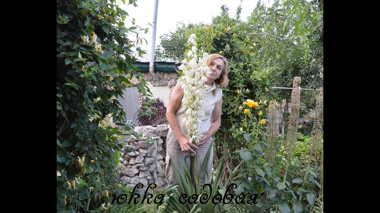 юкка садовая уход