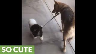 ちっちゃな子犬の散歩に付き合ってあげる…大きな犬(動画)