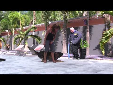 MUST WATCH..OUCH PAINFUL! watch German Shepherd attack The Miami Dog Whisperer!