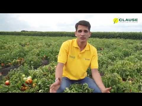 Самый ранний томат в Украине - Супернова F1