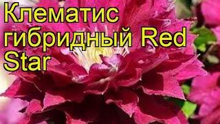 Клематис гибридный Red Star. Краткий обзор, описание характеристик, где купить саженцы, крупномеры