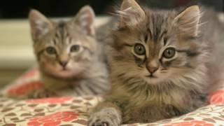 Котята и тигрята