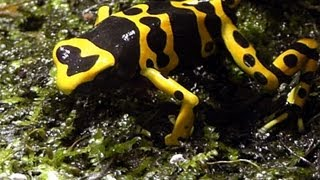 Leucomelas Poison Dart Frogs FEASTING on Fruit flies in HD