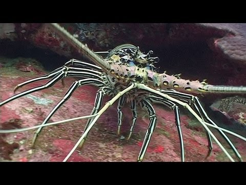 Crustaceans - Reef Life of the Andaman - Part 13
