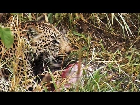 Leopard Eating A Porcupine - Latest Sightings