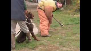Mrazovac K9 Academy-personal Protection Dogs,personal Protection Dog,protection Dog