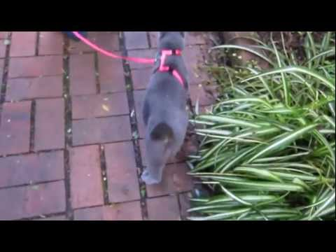 Walking a cat on a leash (Russian blue)