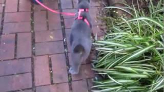 Walking a cat on a leash (Russian blue)