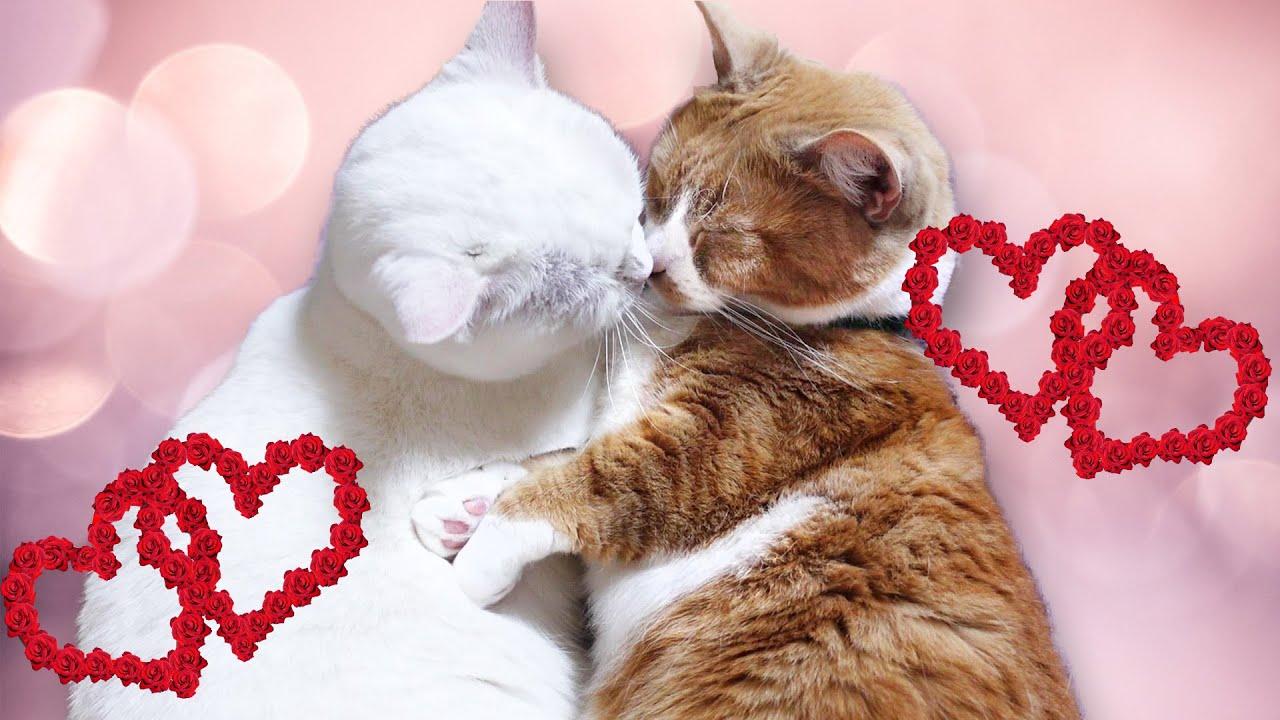 羨ましいほど男子にモテモテの白猫ちゃん♥ The white cat that is popular with boys so much that everyone envy.