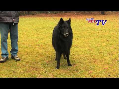 Groenendael - Belgischer Schäferhund: Informationen zur Rasse