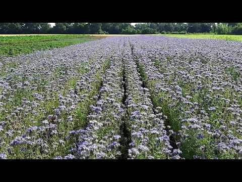 Фацелия! Рай для пчёл.