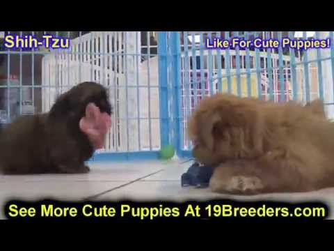 Shih Tzu, Puppies, Dogs, For Sale, In Chicago, Illinois, IL, 19Breeders, Rockford, Naperville