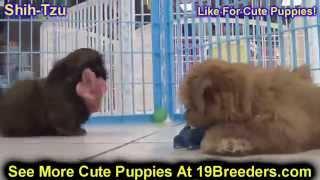 Shih Tzu Puppies Dogs Sale Chicago Illinois Il 19breeders Rockford Naperville