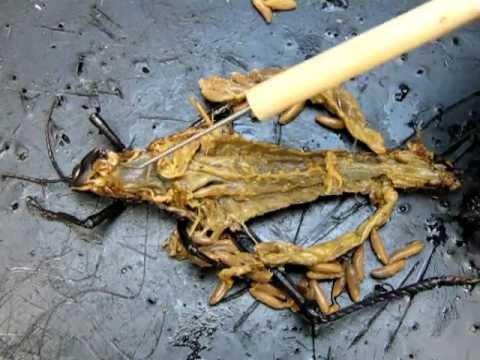 Grasshopper Anatomy Part 2 - YouTube