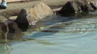 那須どうぶつ王国 2013年9月21日 仔カピバラが豆魚雷のように泳ぐ!