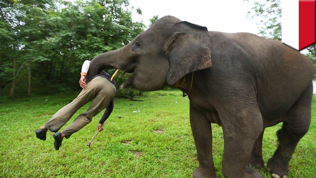 Gajah Serang Pemiliknya Di Bali Saat Memberi Makan Tomonews