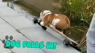 Skateboarding Dog Falls into Pond - Hilarious Dog Fail