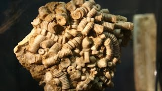 Everything About Crinoids