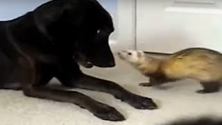 Little Ferret Playing With His Buddy Labrador Retriever, Sweet