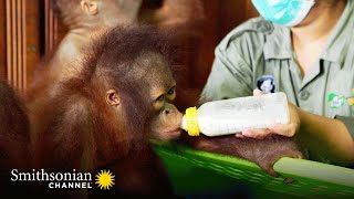 Mornings Are a Busy Time at the Nursery  Orangutan Jungle School | Smithsonian Channel
