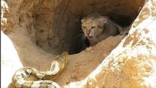 Chứng kiến mèo mẹ đối đầu với sát thủ rừng xanh bảo vệ đàn con, quyết chiến đến giây phút cuối cùng