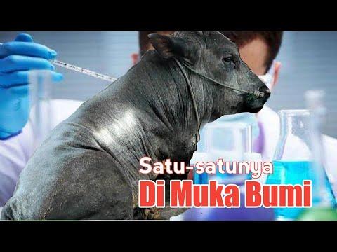 Akibat Ulah Ilmuan Indonesia, Terlahir Sapi Monster Ras Satu-Satunya Di Muka Bumi