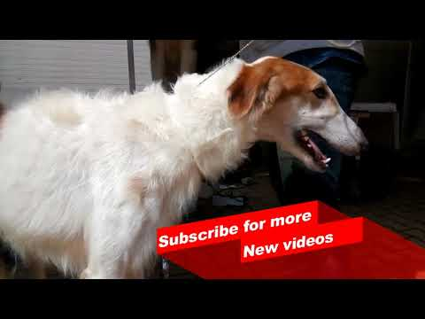 Wow ! Most Amazing dog breeds worldwide | Borzoi |