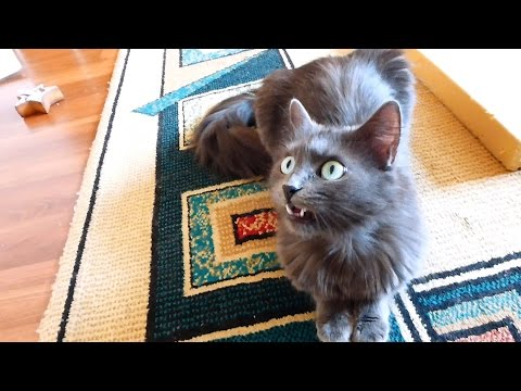 Our talking Nebelung cat, Luna