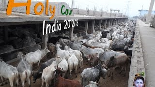 Holy Cow - India 2012/13