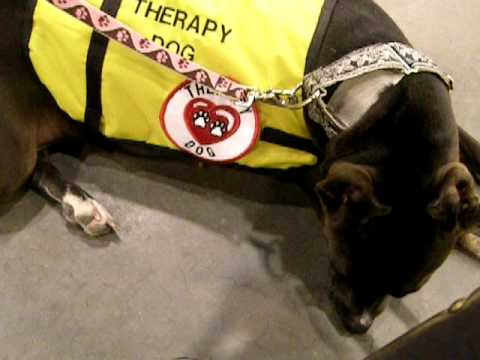AKC Canine Good Citizen & Therapy Dog Pit Bull Terrier