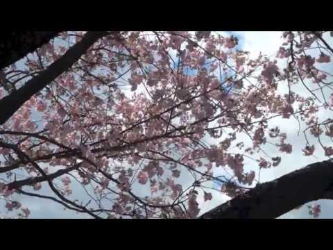 On a Windy Day in Spring ~ A Walk Along a River and Sakura