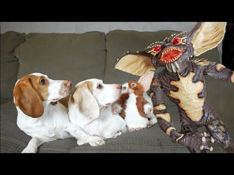 Dogs Save Gizmo from Gremlin! Funny Dogs Maymo & Potpie