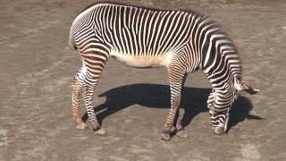 2011年12月10日、千葉動物公園にて。グレビーシマウマは、シマ...