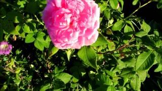╭დ╯?My beautiful antique old fashioned climbing pink roses?╭დ╯